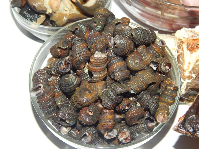 Periwinkles washed, tails snipped and boiled in hot water for 10 minutes